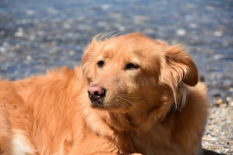 Πολύ γλυκό αντιμέτωπο Retriever διοδίων σκυλί που στηρίζεται στην παραλία στοκ φωτογραφία με δικαίωμα ελεύθερης χρήσης