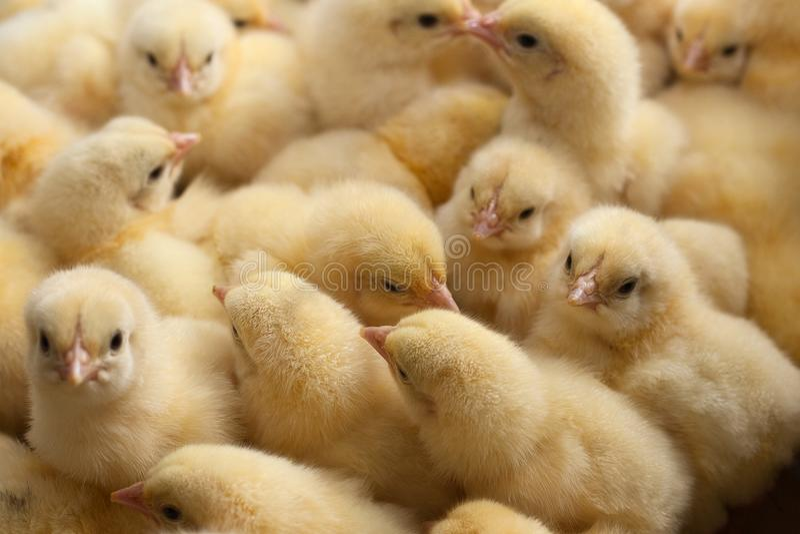 Πολύ κίτρινο κοτόπουλο νεοσσών ή μωρών στο αγρόκτημα για το αυξανόμενο κοτόπουλο στοκ φωτογραφίες με δικαίωμα ελεύθερης χρήσης