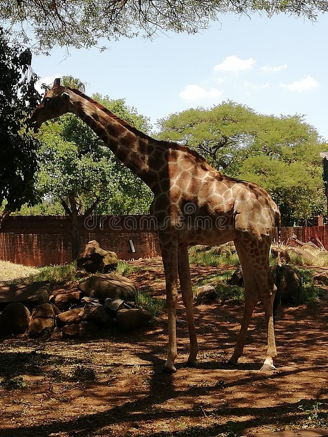 Πολύ μεγάλη χαριτωμένη giraffe κατανάλωση στοκ φωτογραφία με δικαίωμα ελεύθερης χρήσης