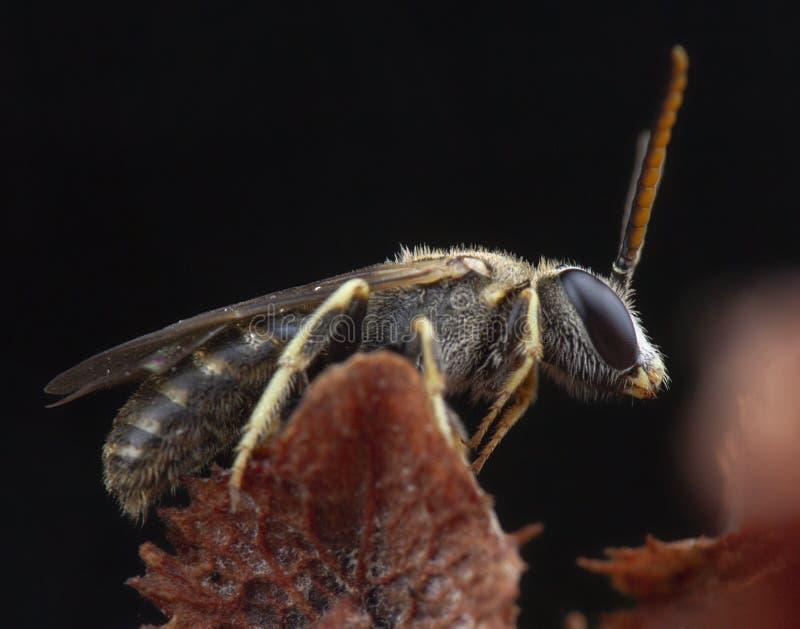 Πολύ μικρή τοποθέτηση μυγών μελισσών halyctidae στο κόκκινο λουλούδι στοκ φωτογραφία