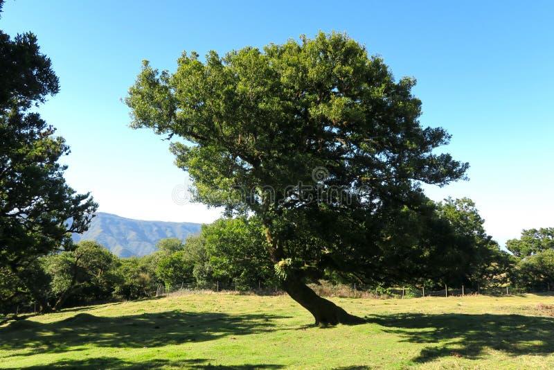 Πολύ παλαιό δέντρο δαφνών στοκ φωτογραφία με δικαίωμα ελεύθερης χρήσης
