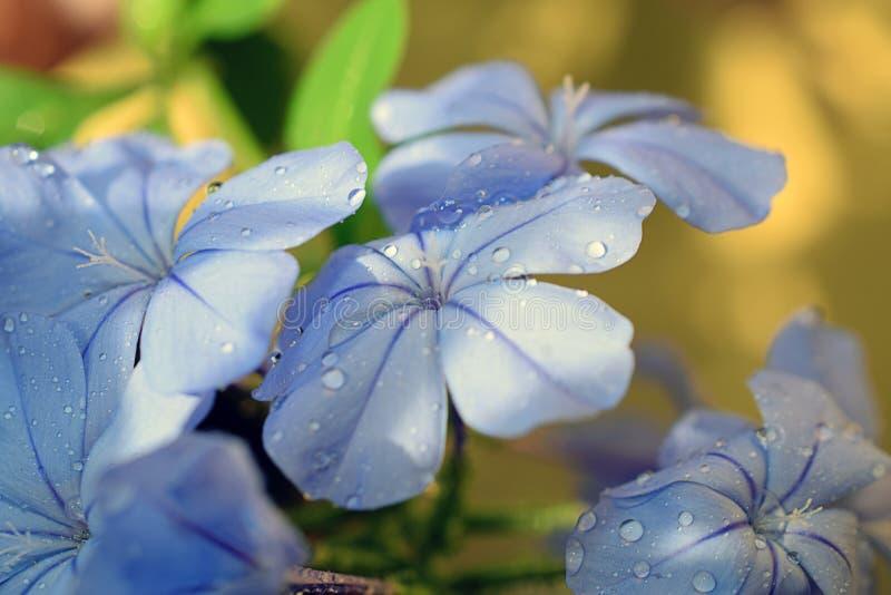 Πολύ συμπαθητικός στενός επάνω θερινών λουλουδιών στον κήπο μου στοκ φωτογραφίες με δικαίωμα ελεύθερης χρήσης