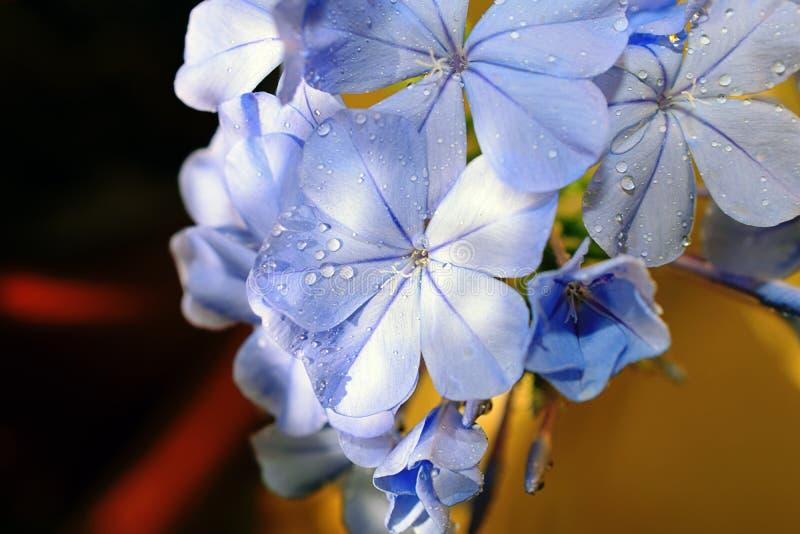 Πολύ συμπαθητικός στενός επάνω θερινών λουλουδιών στον κήπο μου στοκ εικόνες με δικαίωμα ελεύθερης χρήσης
