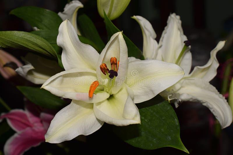 Πολύ συμπαθητικός lilly στενός επάνω στον κήπο μου στοκ εικόνα