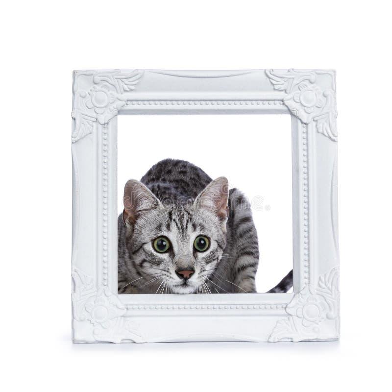 Πολύ χαριτωμένη ασημένια επισημασμένη αιγυπτιακή συνεδρίαση γατακιών γατών Mau/behing άσπρο πλαίσιο εικόνων που απομονώνεται στο  στοκ φωτογραφίες
