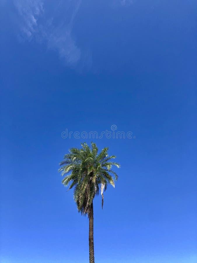 Πολύ ψηλός φοίνικας στοκ εικόνες με δικαίωμα ελεύθερης χρήσης