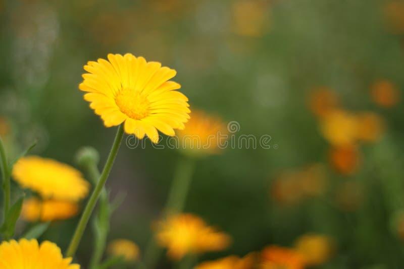 Πολύ όμορφο κίτρινο λουλούδι δροσερό στοκ εικόνα