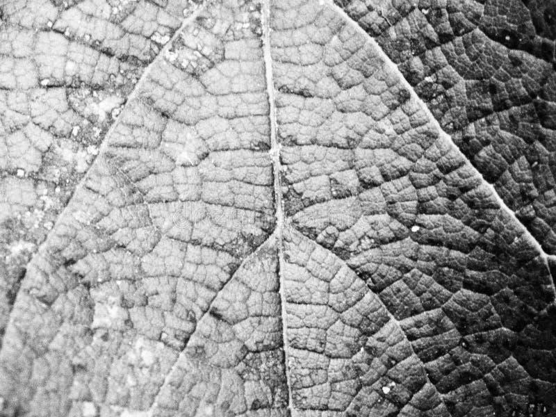 Πολύ όμορφο φύλλο σταφυλιών στοκ φωτογραφία