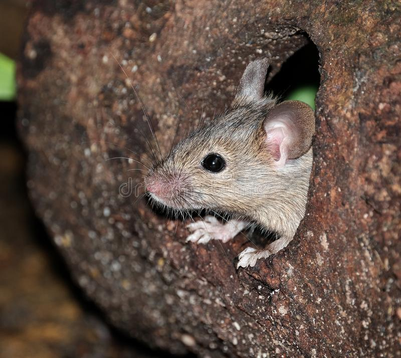 Ποντίκια που τρέφονται με πεταμένα κέικ σε έναν κήπο στοκ φωτογραφία