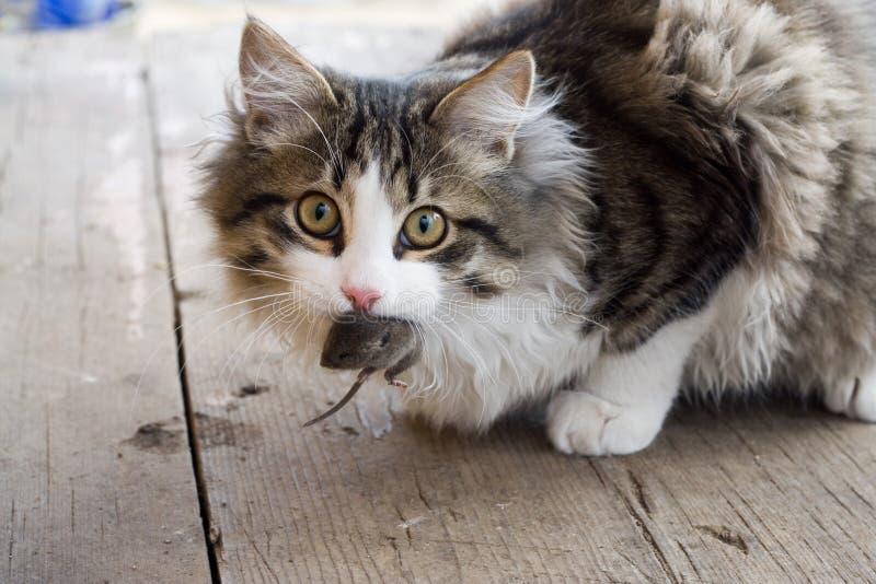 ποντίκι γατών στοκ φωτογραφία με δικαίωμα ελεύθερης χρήσης
