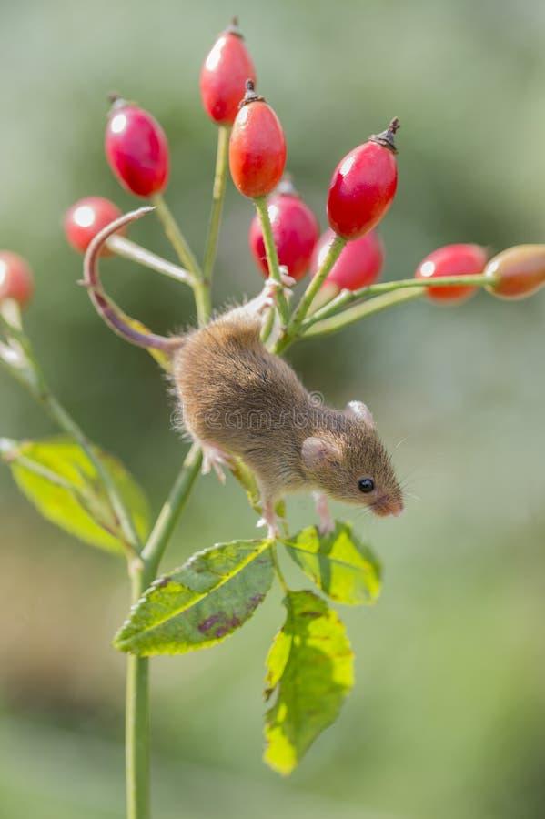 Ποντίκι συγκομιδών - πρακτικά Micromys στοκ εικόνες με δικαίωμα ελεύθερης χρήσης