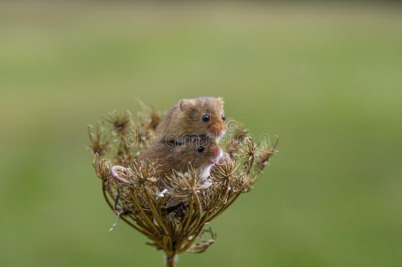 Ποντίκι συγκομιδών - πρακτικά Micromys στοκ φωτογραφία με δικαίωμα ελεύθερης χρήσης