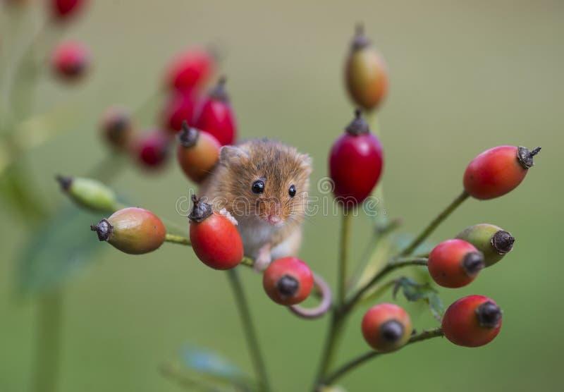 Ποντίκι συγκομιδών - πρακτικά Micromys στοκ εικόνες