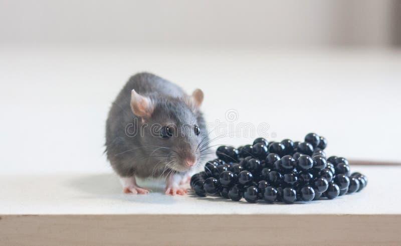 Ποντίκι, χαριτωμένος γκρίζος αρουραίων περιττώματα και έννοια περιττωμάτων antichrist στοκ εικόνες με δικαίωμα ελεύθερης χρήσης