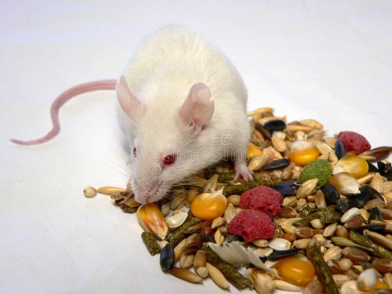 ποντίκι στοκ φωτογραφίες με δικαίωμα ελεύθερης χρήσης