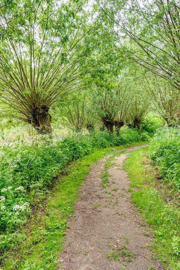 Πορεία μεταξύ των δέντρων ιτιών κλαδεμένων δέντρων στην άνοιξη στοκ φωτογραφίες με δικαίωμα ελεύθερης χρήσης
