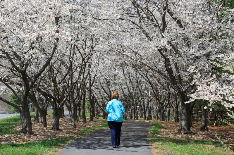 Πορεία περπατήματος γυναικών κάτω από το θόλο των δέντρων Reston VA κερασιών στοκ εικόνες