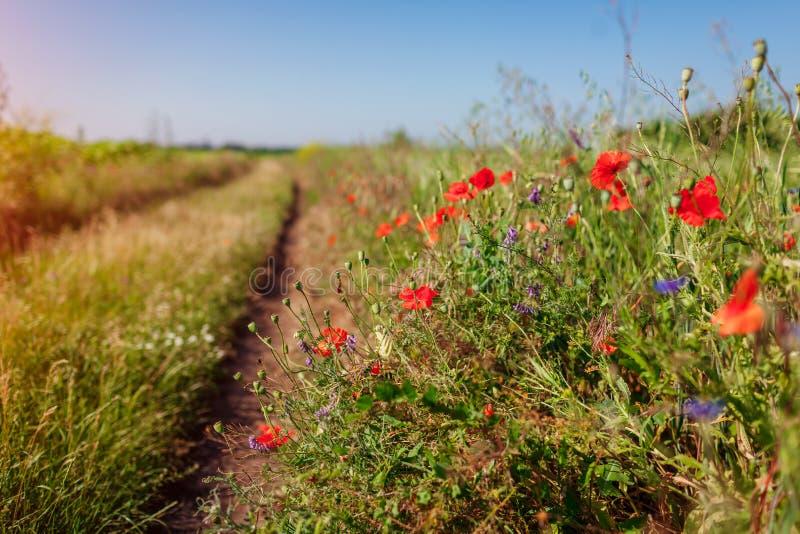 Πορεία στο θερινό τομέα που περιβάλλεται με τα λουλούδια παπαρουνών στοκ φωτογραφίες με δικαίωμα ελεύθερης χρήσης