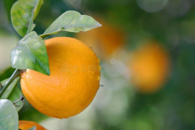 Download πορτοκάλια στοκ εικόνα. εικόνα από νόστιμος, δέντρο, πορτοκάλια - 121073