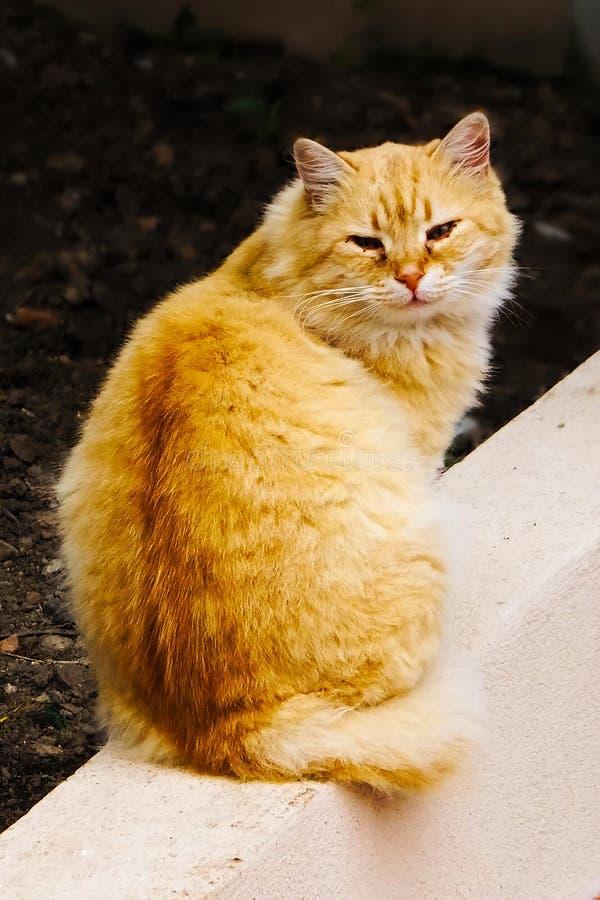 Πορτοκάλι γάτα που ξανακοιτάζει στοκ εικόνες