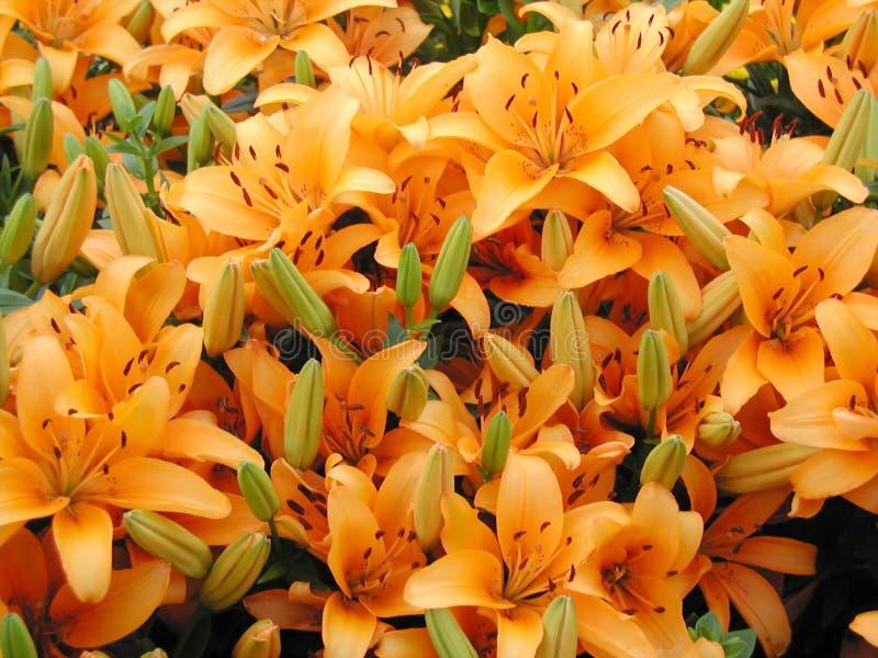 πορτοκάλι κρίνων στοκ φωτογραφίες