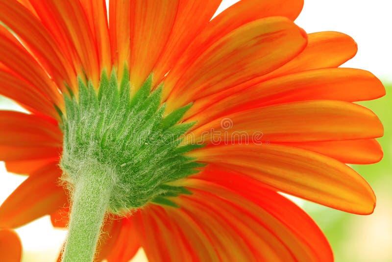 πορτοκάλι λουλουδιών στοκ εικόνα