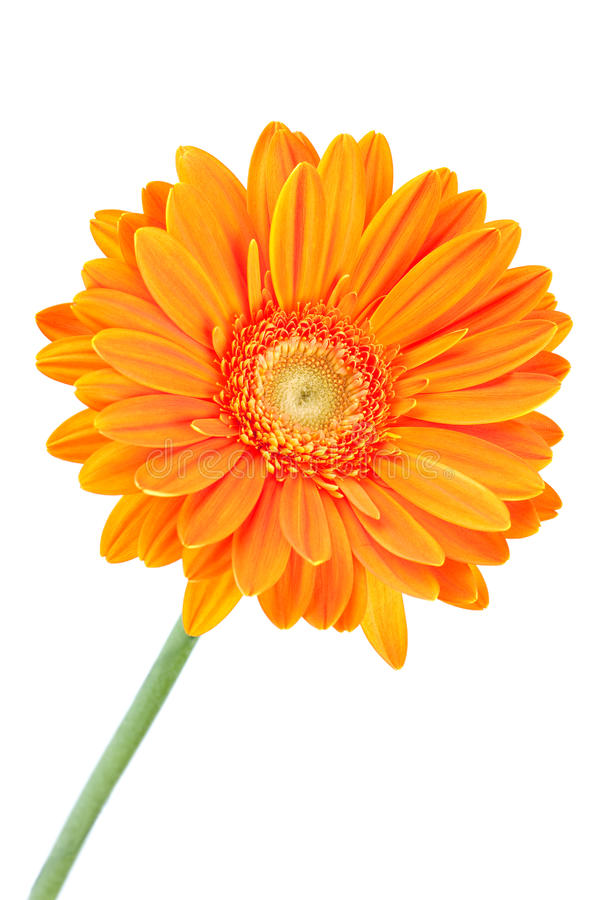 πορτοκάλι gerbera λουλουδιώ& στοκ φωτογραφίες