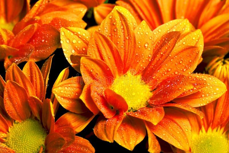 Πορτοκάλι officinalis Calendula στοκ εικόνα με δικαίωμα ελεύθερης χρήσης