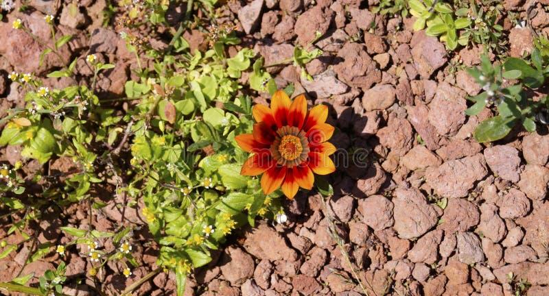 Πορτοκάλι και κόκκινο λίγο λουλούδι gazania στοκ εικόνες με δικαίωμα ελεύθερης χρήσης
