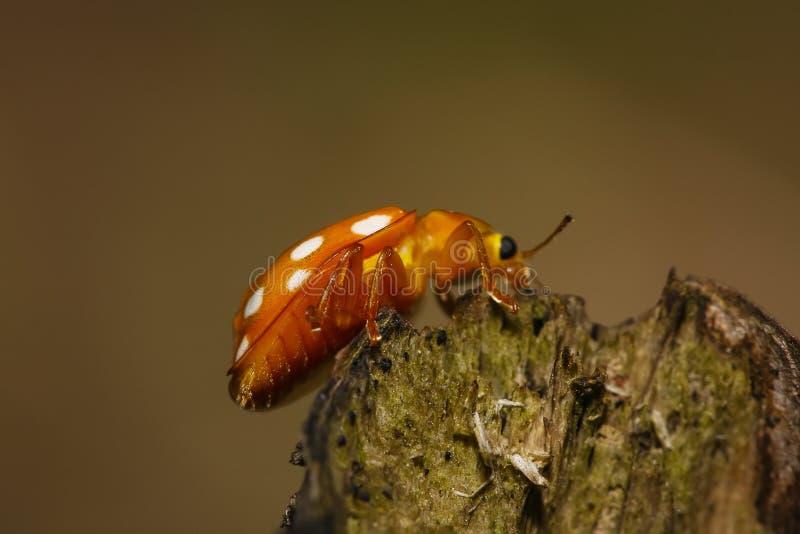 Πορτοκάλι ladybug στη μακρο φωτογραφία κλάδων στοκ φωτογραφία με δικαίωμα ελεύθερης χρήσης