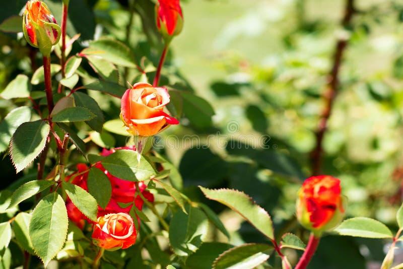 Πορτοκαλής αυξήθηκε σε ένα υπόβαθρο του πράσινου πάρκου Πορτοκαλής αυξήθηκε κινηματογράφηση σε πρώτο πλάνο σε έναν θάμνο στο πάρκ στοκ φωτογραφία με δικαίωμα ελεύθερης χρήσης