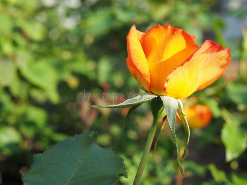 Πορτοκαλής αυξήθηκε στον κήπο, όμορφο λουλούδι στοκ φωτογραφίες