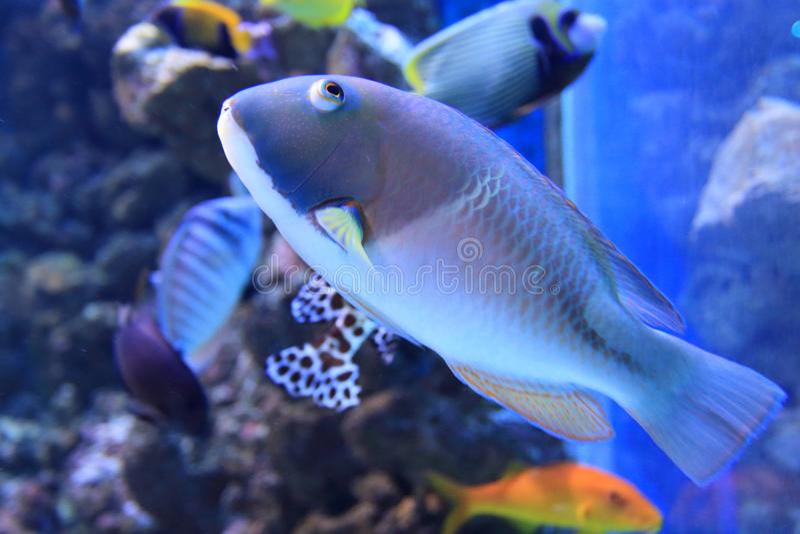 Πορτοκαλής-διαστιγμένος tuskfish στοκ φωτογραφίες με δικαίωμα ελεύθερης χρήσης
