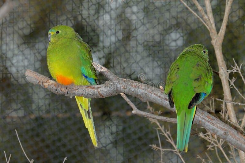 Πορτοκαλής-διογκωμένος παπαγάλος Neophema Chrysogaster - ζευγάρι στοκ εικόνα με δικαίωμα ελεύθερης χρήσης