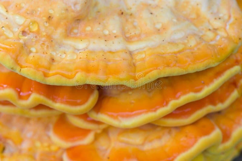 Πορτοκαλής μύκητας στο δέντρο - sulphureus laetiporus, ράφι θείου στοκ εικόνες με δικαίωμα ελεύθερης χρήσης