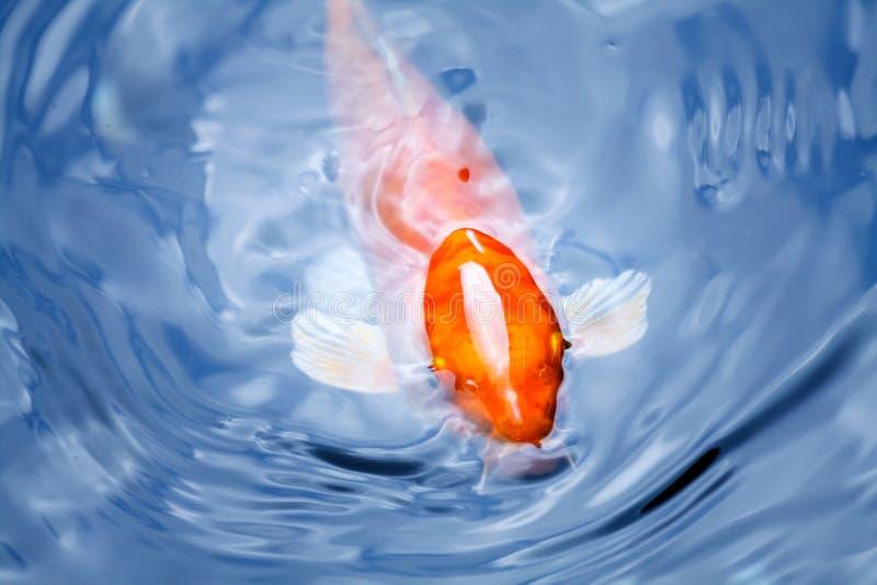 Πορτοκαλής φανταχτερός κυπρίνος που αναπνέει στην μπλε επιφάνεια νερού στοκ εικόνες