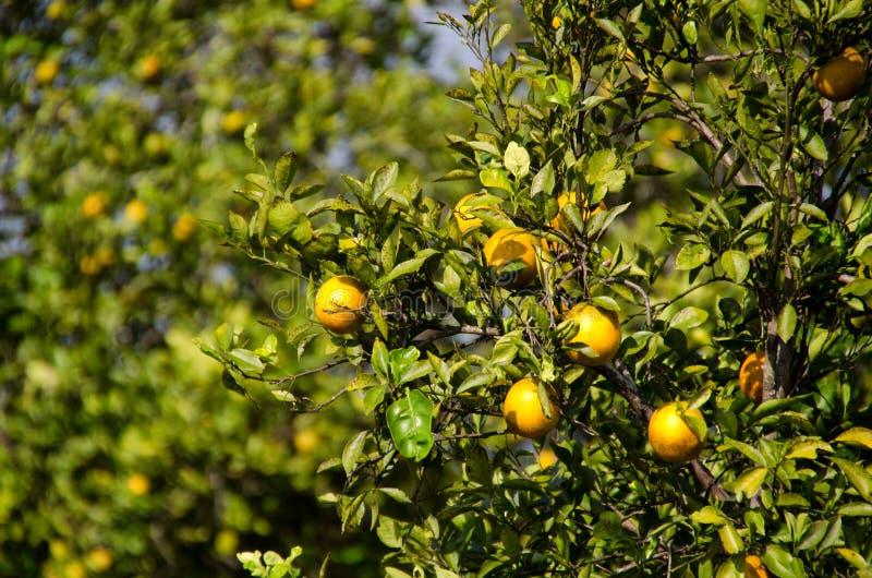 Πορτοκαλί άλσος της Φλώριδας στοκ εικόνες