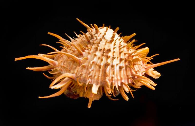 Πορτοκαλί ακανθωτό στρείδι Shell στοκ εικόνα