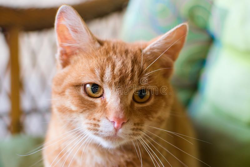 Πορτοκαλί γάτα στοκ φωτογραφία