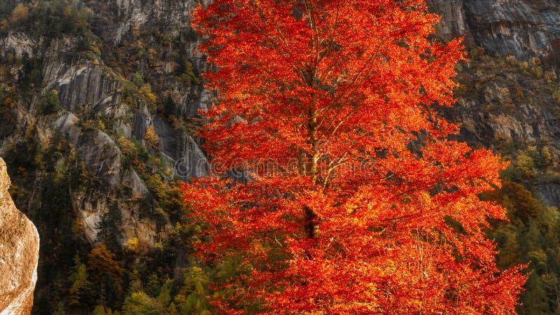Πορτοκαλί δέντρο κατά την φθινοπωρινή σεζόν στοκ εικόνες
