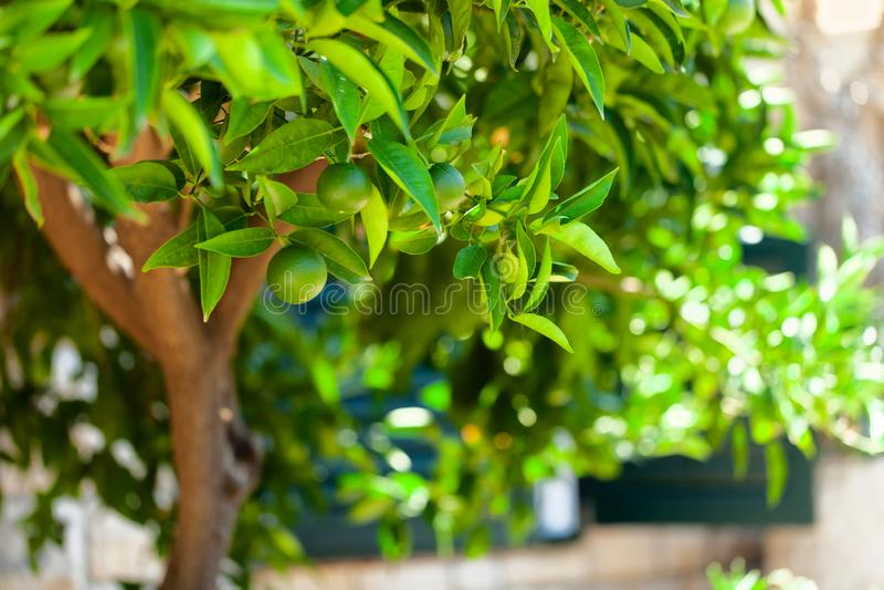 Πορτοκαλί δέντρο με την πράσινη ωρίμανση φρούτων στους κλάδους του - Κροατία, νησί Brac στοκ εικόνες με δικαίωμα ελεύθερης χρήσης