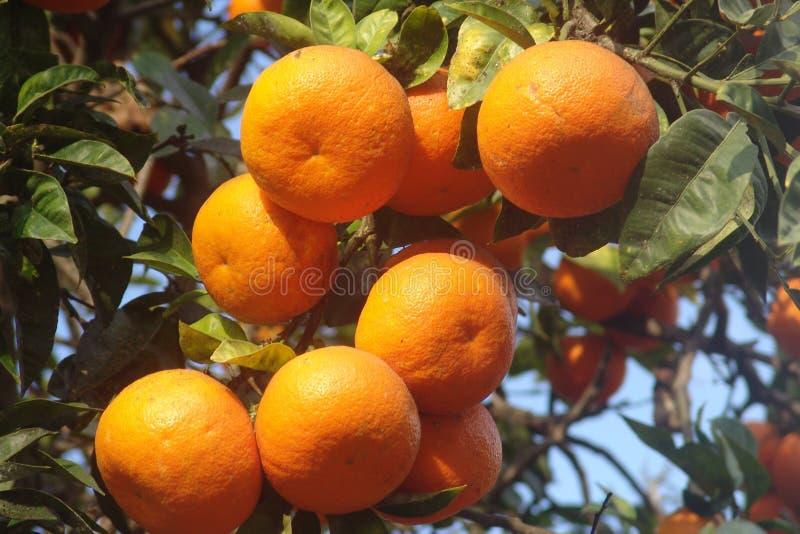 πορτοκαλί δέντρο στοκ εικόνα