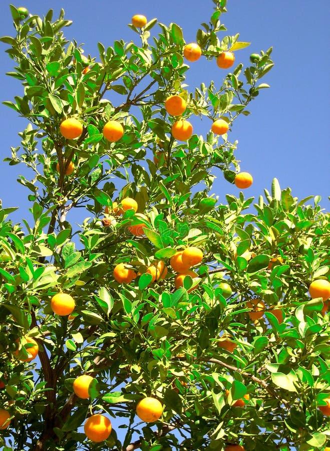 Download πορτοκαλί δέντρο στοκ εικόνα. εικόνα από δέντρο, βιταμίνη - 50941