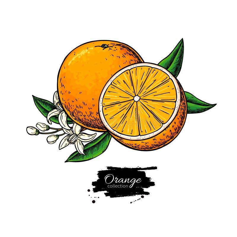 Πορτοκαλί διανυσματικό σχέδιο Απεικόνιση θερινών φρούτων Απομονωμένη συρμένη χέρι πορτοκαλιά άνθιση φετών και λουλουδιών απεικόνιση αποθεμάτων