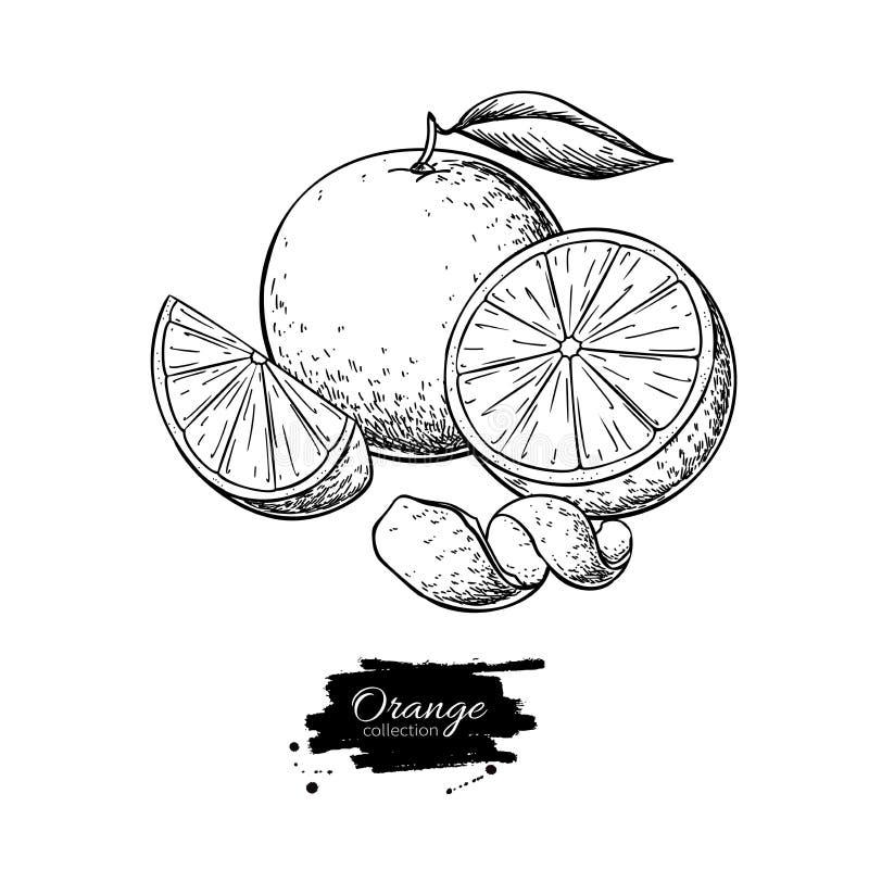 Πορτοκαλί διανυσματικό σχέδιο Θερινή χαραγμένη φρούτα απεικόνιση Απομονωμένο χέρι που σύρεται ελεύθερη απεικόνιση δικαιώματος