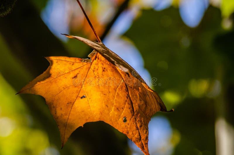 Πορτοκαλί κίτρινο χρυσό Sycamore πτώσης χρωματίζει πράσινο στοκ φωτογραφίες με δικαίωμα ελεύθερης χρήσης