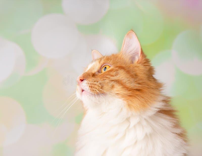 Πορτοκαλί και άσπρο στενό επάνω πρόσωπο γατών που ανατρέχει στο αριστερό στοκ φωτογραφίες