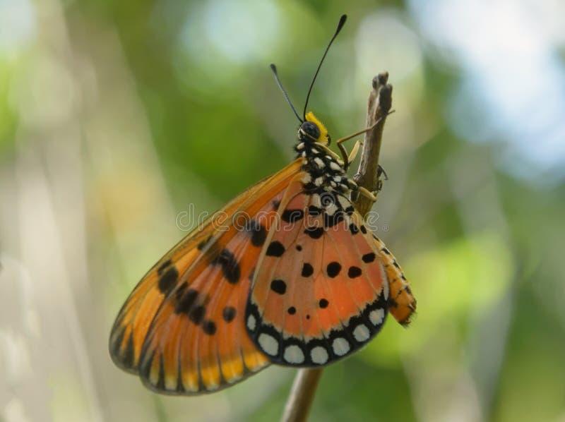 Πορτοκαλί καστανόξανθη πεταλούδα Coster στοκ εικόνες