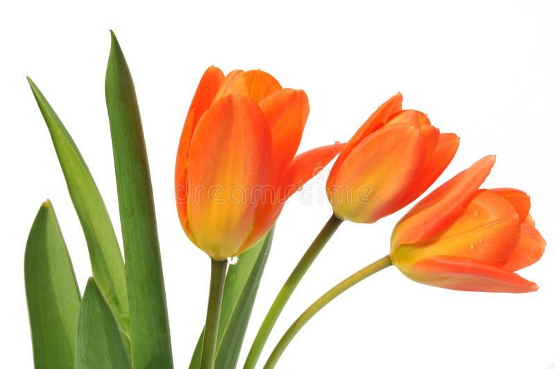 πορτοκαλί λευκό τουλι&p στοκ φωτογραφία με δικαίωμα ελεύθερης χρήσης
