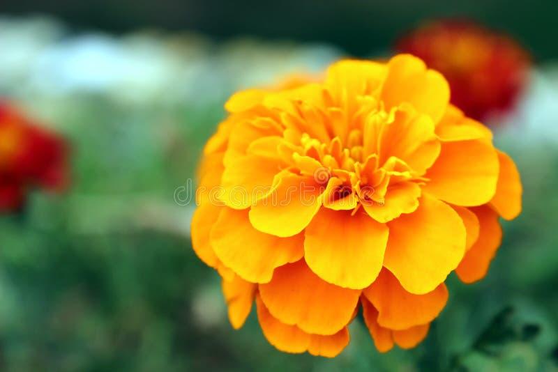 Πορτοκαλί λουλούδι μαριονέτας στοκ εικόνα